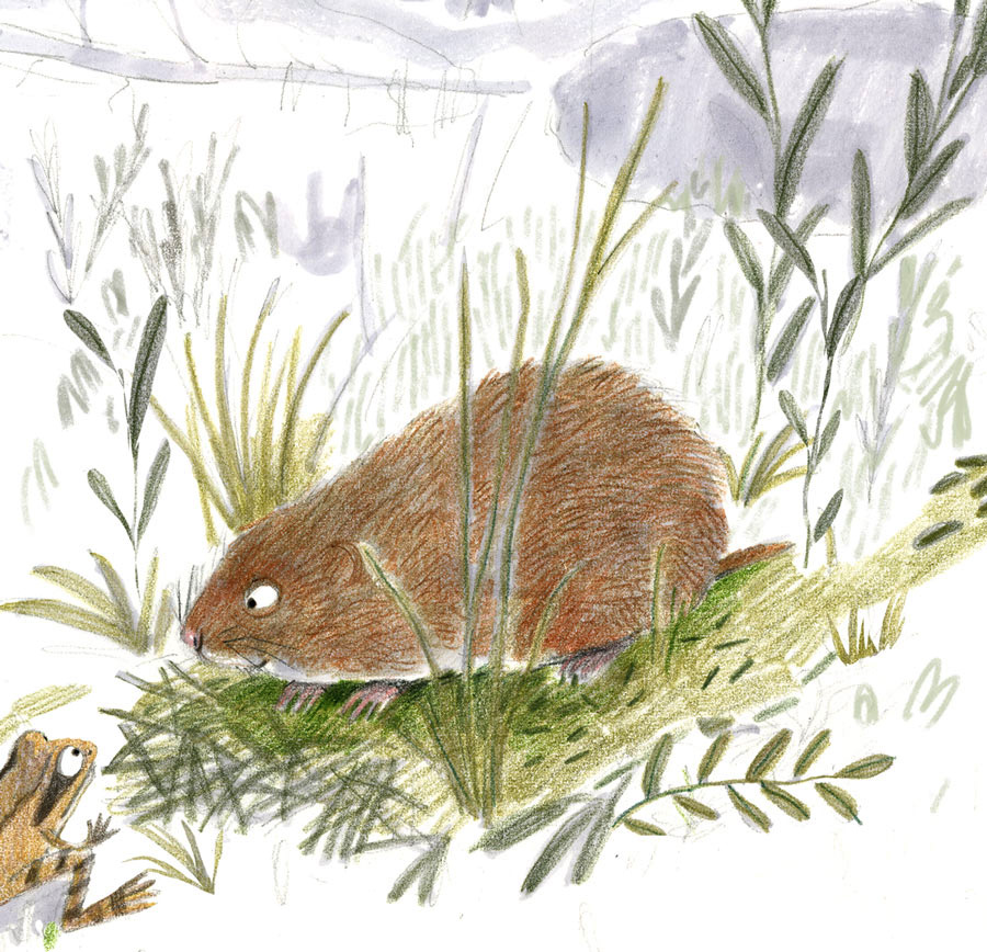 Illustration of bog lemming and wood frog in colored pencil