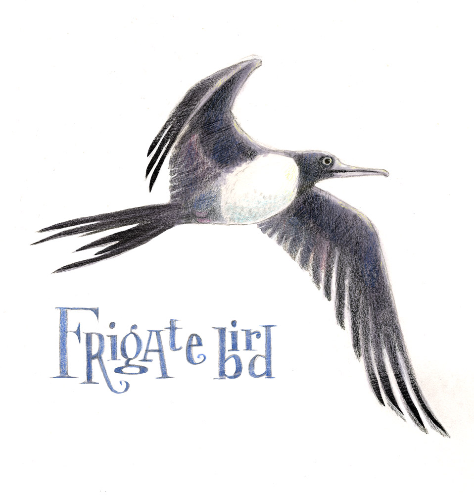 Illustration of flying frigate bird