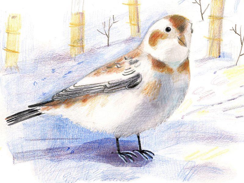 Illustration, Snow bunting on ground